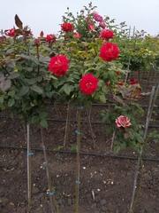 Роза штамбовая оптом и в роозницу